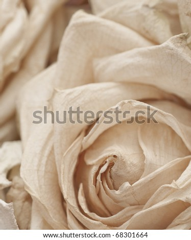 Macro of a dried white rose, shallow depth of field