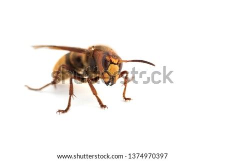 macro of a european hornet (Vespa crabro) isolatet on white