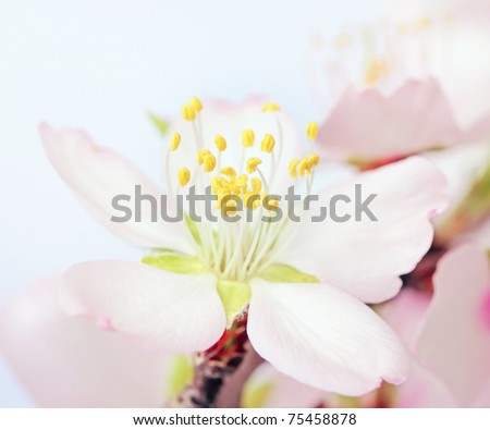 macro of a flowering almond tree flower . shallow DOF