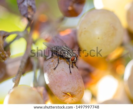 Macro of a fly eating white grape fruit. wonderful, tasty and nutritious food for a gluttonous pest insect