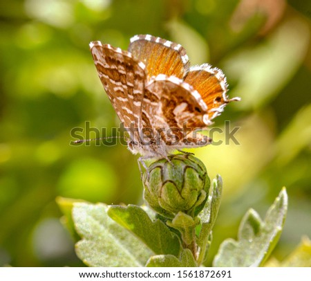 macro of a geranium bronze butterfly (cacyreus marshalli) on a chrysanthemum bud; as natural predators are missing in europe pest control is possible only through insecticides   #1561872691