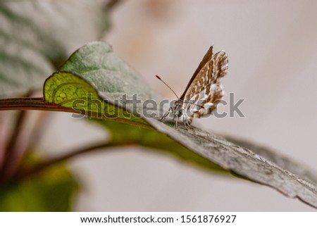 macro of a geranium bronze butterfly (cacyreus marshalli) on a dahlia leaf; as natural predators are missing in europe pest control is possible only through insecticides   #1561876927