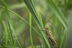 Macro of a grasshopper in the grass