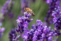 Macro of a honey bee (apis mellifera) on a lavender (lavandula angustifolia) blossom with blurred bokeh background; pesticide free environmental protection save the bees biodiversity concept;