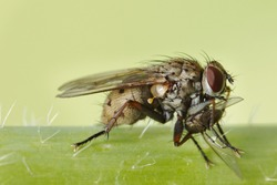 Macro of a housefly eating an insect
