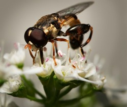 Macro of a hoverfly eating a white flower