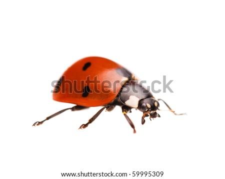 Macro of a ladybug, isolated on white background