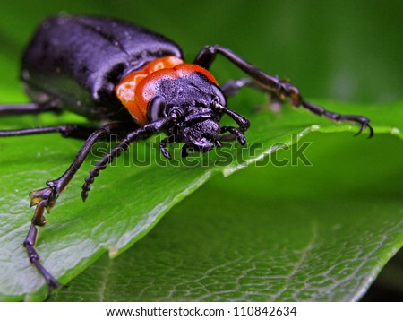 Macro of a Large Black and Orange Beetle resting on a leaf in narrow focus
