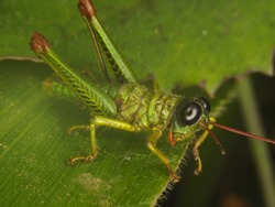 Macro of a Little Green Grasshopper with Big Eyes Posing for the Photo