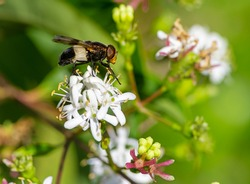 Macro of a pellucid fly on a seven son flower