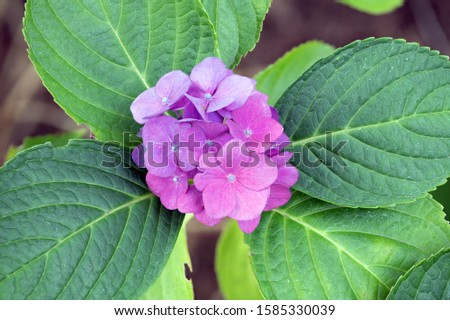 Macro of a Pink Hydrangea and Green Leaves