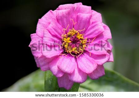 Macro of a Pink Zinnia