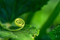 Macro of a plant spiral - selective focus