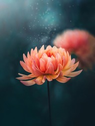 Macro of a single orange Autumn dahlia flower on dark aqua background. Blurred background with soft focus and shallow depth of field. Magical floating dust over the flower