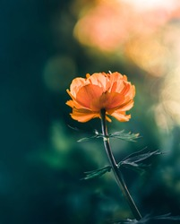Macro of a single orange globeflower (Trollius) against dark green background with sunshine and bokeh from Sun backlight. Illuminated petals on the flower head. Soft focus and blur around the flower