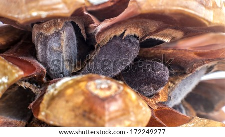 Macro of a Stone pine cone (Pinus pinea) showing its edible pine nuts #172249277