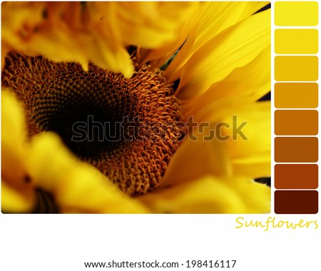 Macro of a sunflower with a color palette of complimentary color swatches. Selective focus on center of flower with extreme shallow depth of field.