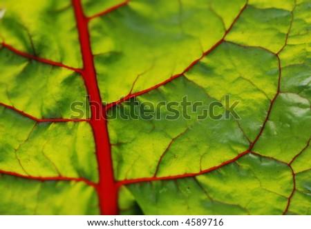 macro of a swiss chard leaf