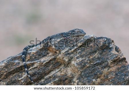 macro of a Tarentola mauritanica