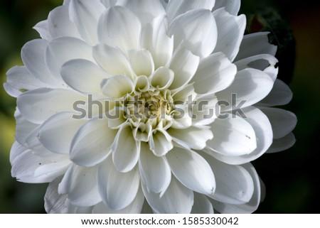 Macro of a White Dahlia