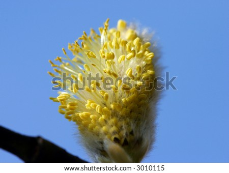 Macro of a willow catkin  - look at my portfolio to other shots