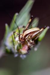 Macro of a Yersinella Raymondi, common name Raymond's Bush-cricket on a flower