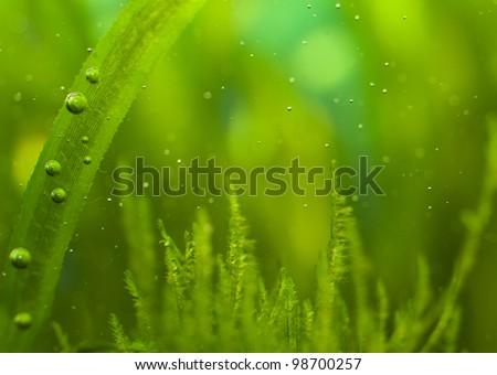 Macro of algae with many little bubbles in aquarium