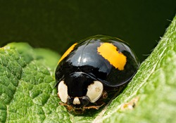 Macro of an Asian ladybug (Harmonia axyridis, Coccinellidae), also known as a