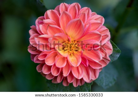 Macro of an Orange Dahlia