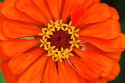 Macro of an orange zinnia flower