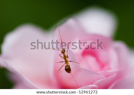 Macro of ant resting on pink flower