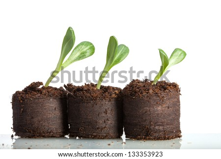 Macro of artichoke (Cynara scolymus) curved sprouts in peat isolated on white