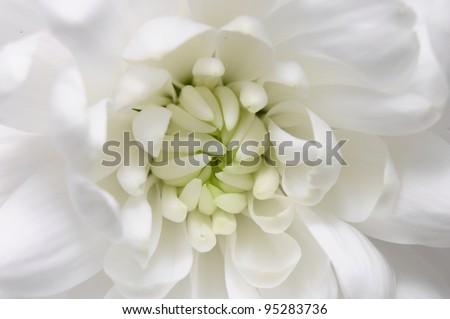 Macro of aster white flower