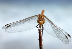 Macro of beautiful dragonfly imago sitting on a straw