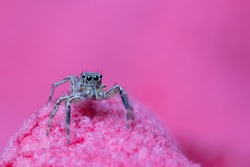 macro of beautiful jumping spider with sweet pink background, colorful wildlife concept