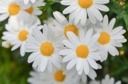 macro of beautiful white daisies flowers