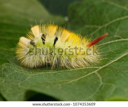 Macro of big yellow hairy caterpillar with red tail (Calliteara pudibunda) resting on green leaf