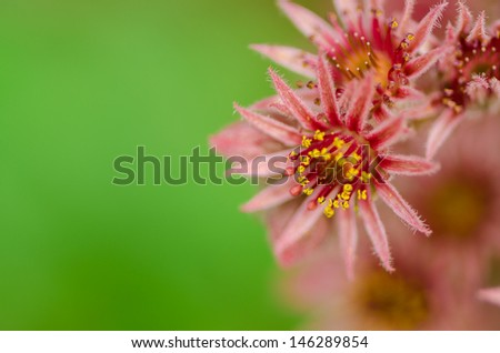 macro of blooming sempervivum cactus flowers called Hens and Chicks