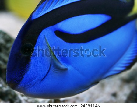 Macro of Blue Regal Tang - Paracanthurus Hepatus