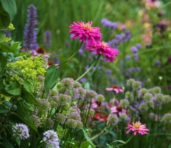 Macro of bright pink zinnia flower along with millenium alliums and blue agastache in a cottage garden