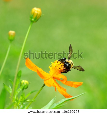 Macro Of Bumble Bee (Bombus terrestris) Collecting Pollen On Cosmos Flower (Cosmos sulphureus)