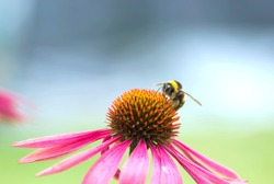 Macro of Bumble Bee on Magenta Echinacea Cone Flower collecting pollen