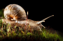 Macro of Burgundy snail (Helix pomatia) crawl in green moss, isolated on black