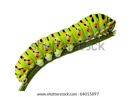 macro of butterfly larva climbing on twig isolated on white
