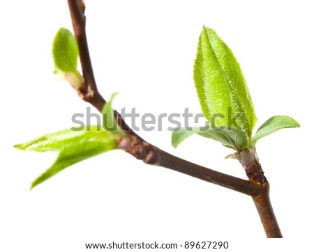 Macro of cherry-tree buds and leaves isolated on white