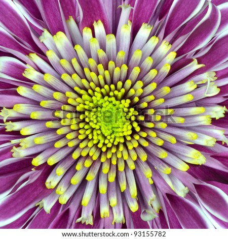 Macro of Chrysanthemum Flower Purple with Lime Green White Center Isolated on White Background