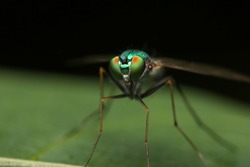 Macro of Crane Fly on green leaf. Green lag fly (Tipula sp.) on green leave in the garden.