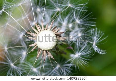 Macro of dandelion seeds closeup