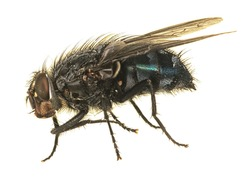 Macro of dead bluebottle fly