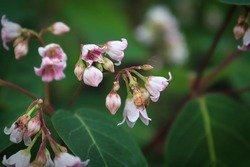 Macro of delicate pink flowers on Spreading Dogbane.
